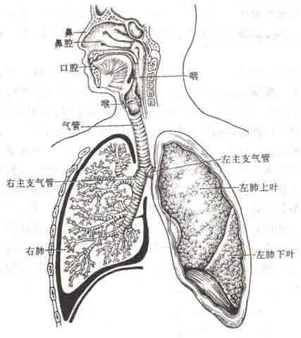 鼻腔到支气管的结构图