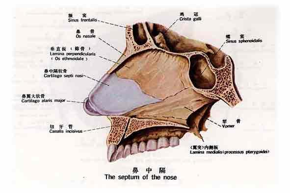 呼吸系统respiratory system由呼吸道和肺二部分组成。呼吸道包括鼻腔、咽、喉、气管和支气管,鼻腔、咽、喉为上呼吸道,气管和支气管为下呼吸道。    一、鼻   鼻nose是呼吸道的起始部分,能净化吸入的空气并调节其温度和湿度,它也是嗅觉器官,还可辅助发音。鼻包括外鼻、鼻腔和鼻旁窦三部分。   1.