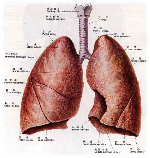 肺解剖图手绘