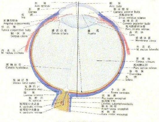 右眼球水平断模式图