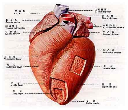 心脏解剖图 - 裴庄中心卫生院 - 裴 庄 中 心 卫 生 院