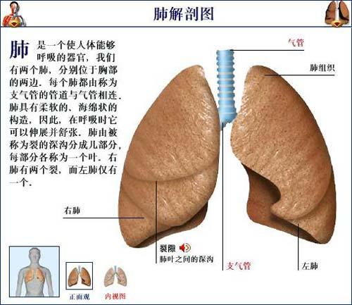 肺部的解剖结构
